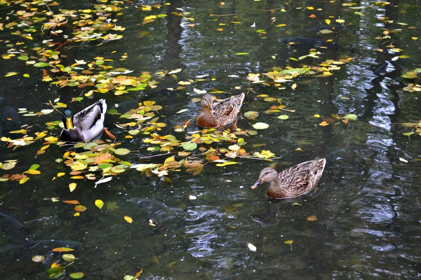 Another photo I took of the ducks at the park.