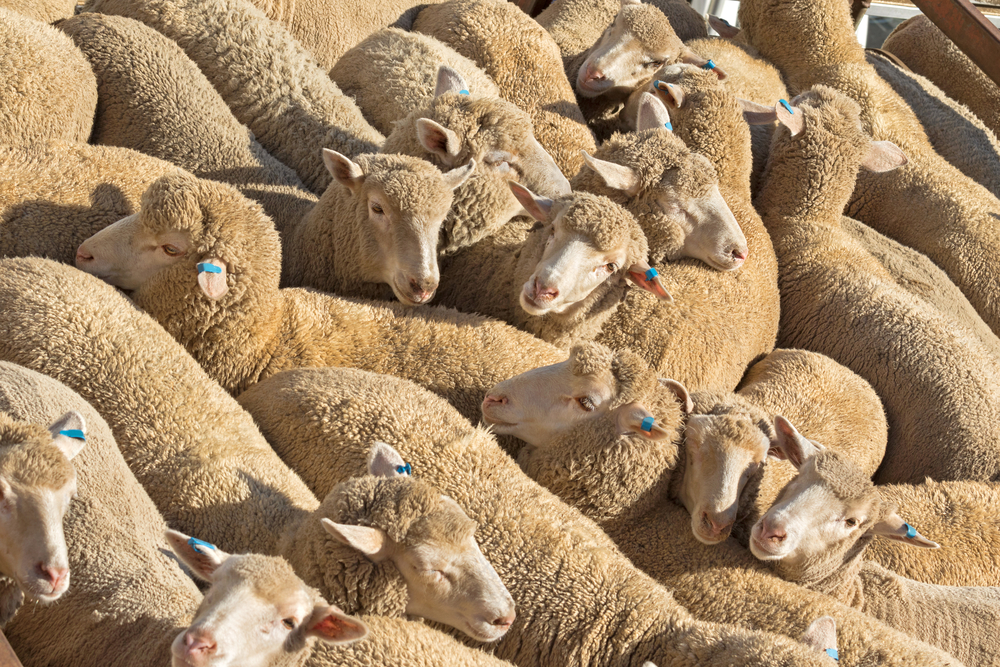A herd of Australian sheep standing in the sun on a truck